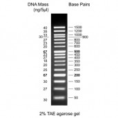50 bp DNA Ladder, ready to use